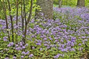USA, Delaware, Hockessin. Purple groundcover by Hollice Looney