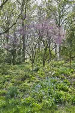 USA, Delaware, Wilmington. Flowering dogwood among bluebells by Hollice Looney
