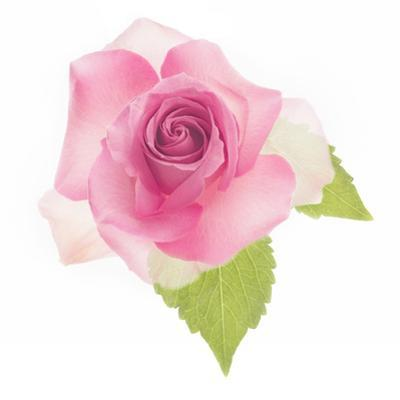 USA, Maryland, Bethesda, Pink Rose, Digitally Altered by Hollice Looney