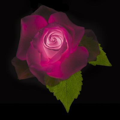 USA, Maryland, Bethesda, Rose on Black by Hollice Looney