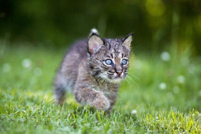 USA, Minnesota, Sandstone, Baby Bobcat, Kitten, by Hollice Looney