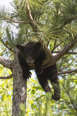 USA, Minnesota, Sandstone, Black Bear Cub Stuck in a Tree by Hollice Looney