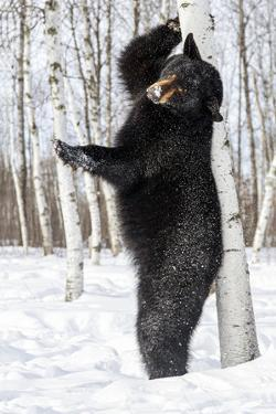 USA, Minnesota, Sandstone, Black Bear Scratching an Itch by Hollice Looney