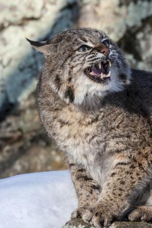 Usa, Minnesota, Sandstone, Bobcat growling by Hollice Looney