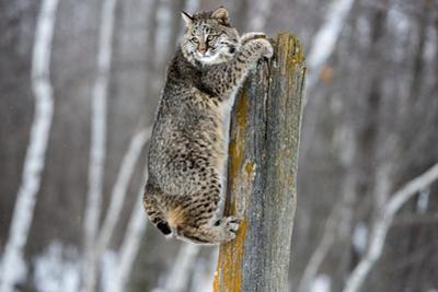 USA, Minnesota, Sandstone. Bobcat hanging from a tree stump by Hollice Looney