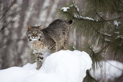 USA, Minnesota, Sandstone, Bobcat in Snow by Hollice Looney