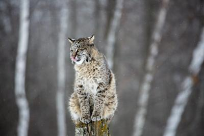 USA, Minnesota, Sandstone. Bobcat perched on a tree stump by Hollice Looney