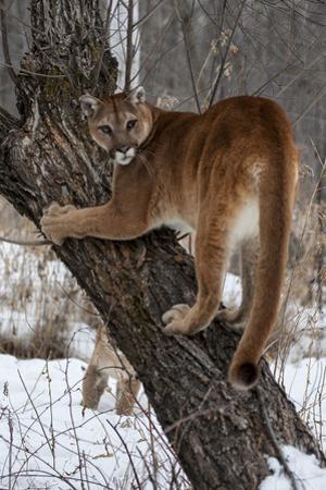 USA, Minnesota, Sandstone. Cougar climbing tree. by Hollice Looney