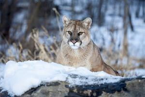 USA, Minnesota, Sandstone. Cougar on alert by Hollice Looney
