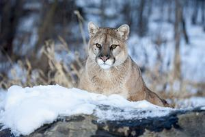 USA, Minnesota, Sandstone. Cougar on alert by Hollice Looney