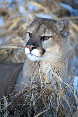USA, Minnesota, Sandstone. Cougar resting in grass by Hollice Looney