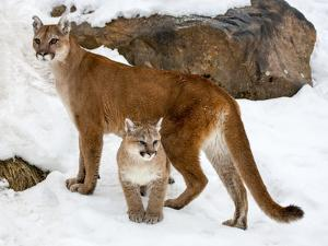 USA, Minnesota, Sandstone, Cougars, Mother and Young by Hollice Looney