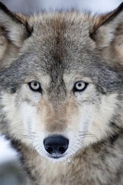 USA, Minnesota, Sandstone, Eyes of the Wolf by Hollice Looney