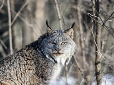USA, Minnesota, Sandstone. Lynx in the woods by Hollice Looney