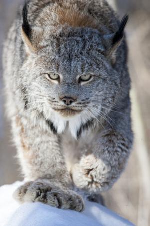 USA, Minnesota, Sandstone. Lynx walking by Hollice Looney