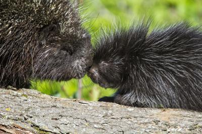 USA, Minnesota, Sandstone, Porcupine Mother and Baby by Hollice Looney