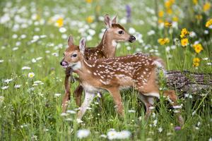 USA, Minnesota, Sandstone, Two Fawns Amidst Wildflowers by Hollice Looney
