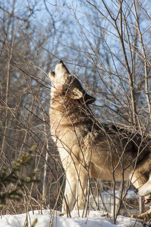 Usa, Minnesota, Sandstone, wolf howling by Hollice Looney