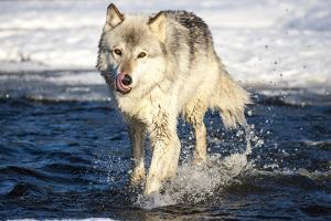 USA, Minnesota, Sandstone. Wolf Running in the water by Hollice Looney
