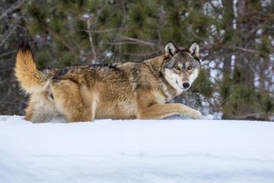 USA, Minnesota, Sandstone. Wolf walking in snow by Hollice Looney