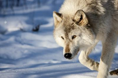 USA, Minnesota, Sandstone. Wolf walking in the snow by Hollice Looney