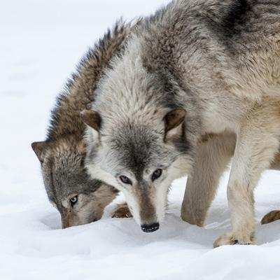 Usa, Minnesota, Sandstone, wolves digging in the snow by Hollice Looney