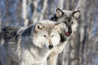USA, Minnesota, Sandstone. Wolves watching by Hollice Looney