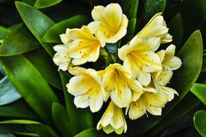 USA, Pennsylvania, Kennett Square. Clivia by Hollice Looney