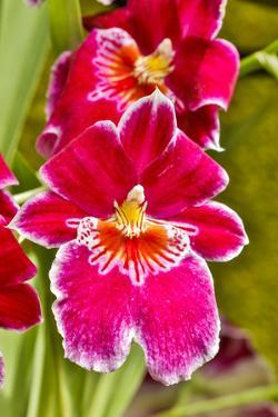 USA, Pennsylvania, Kennett Square. Orchid by Hollice Looney