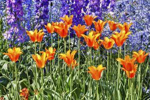 USA, Pennsylvania, Kennett Square. Quamash and tulips by Hollice Looney