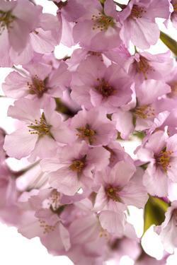 USA, Washington DC, Cherry Blossoms, Tidal Basin by Hollice Looney