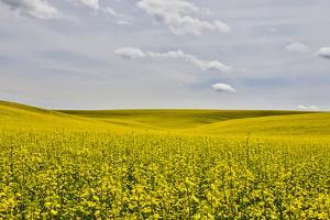 USA, Washington State, Palouse. Canola field in Pullman. by Hollice Looney