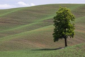 USA, Washington State, Palouse. Lone tree in the field in Colton. by Hollice Looney