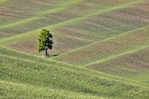 USA, Washington State, Palouse. Single tree in a field in the town of Colton. by Hollice Looney
