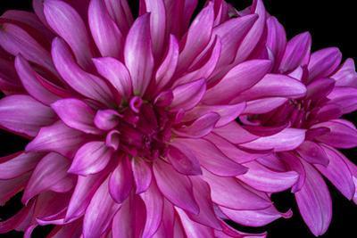 USA, Washington State, Sammamish, Pink Flower, Digitally Altered by Hollice Looney