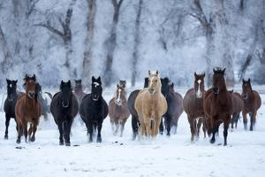 USA, Wyoming, Shell, Horses in the Cold by Hollice Looney