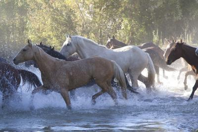 USA, Wyoming, Shell, The Hideout Ranch, Herd of Horses Cross the River by Hollice Looney