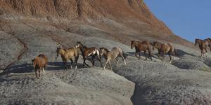 USA, Wyoming, Shell, The Hideout Ranch, Horses Walking the Hillside by Hollice Looney