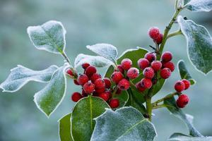Holly Berries Covered with Hoar Frost