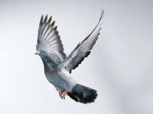 Homing Pigeon in Flight