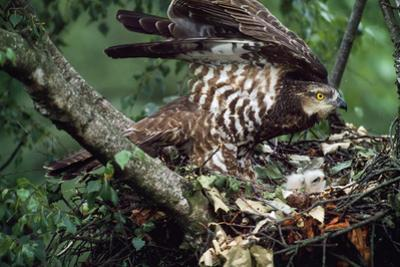 Honey Buzzard at Nest, with Chicks