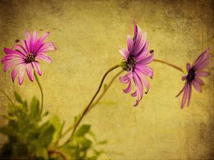 Fuchsia Daisy I by Honey Malek