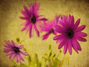 Fuchsia Daisy II by Honey Malek
