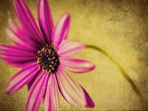 Fuchsia Daisy III by Honey Malek