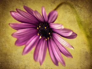 Fuchsia Daisy IV by Honey Malek