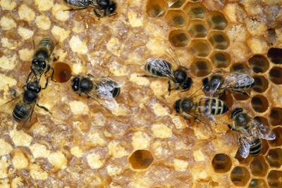 Honeybee Workers Tending Honeycomb