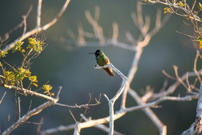 https://imgc.allpostersimages.com/img/posters/hooded-visorbearer-hummingbird-resting-on-a-branch-in-chapada-diamantina_u-L-PSW86Z0.jpg?p=0