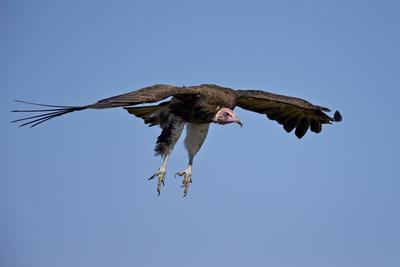 https://imgc.allpostersimages.com/img/posters/hooded-vulture-necrosyrtes-monachus-in-flight-on-approach-to-landing_u-L-PWFI3Z0.jpg?p=0