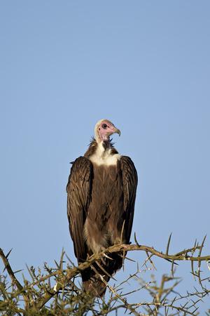 https://imgc.allpostersimages.com/img/posters/hooded-vulture-necrosyrtes-monachus_u-L-PWFK8R0.jpg?p=0