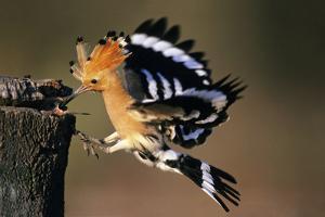 Hoopoe Bird Feeding Young in Flight